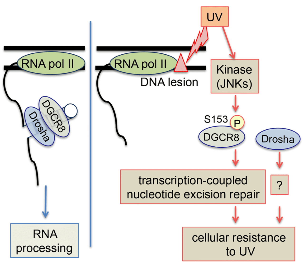 DGCR8 Mediates Repair Of UV-induced DNA Damage Independently Of RNA Processing
