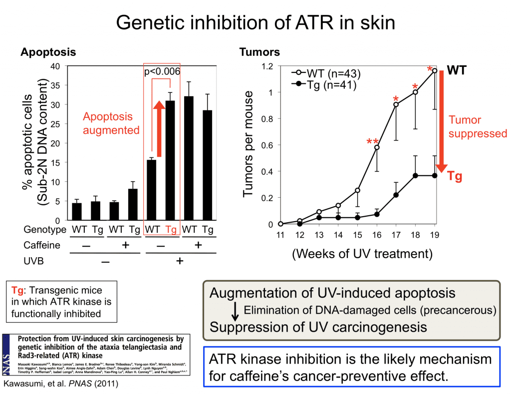 KawasumiLab-Research-01-UVCarcinogenesis-03-GeneticInhibitionOfATR