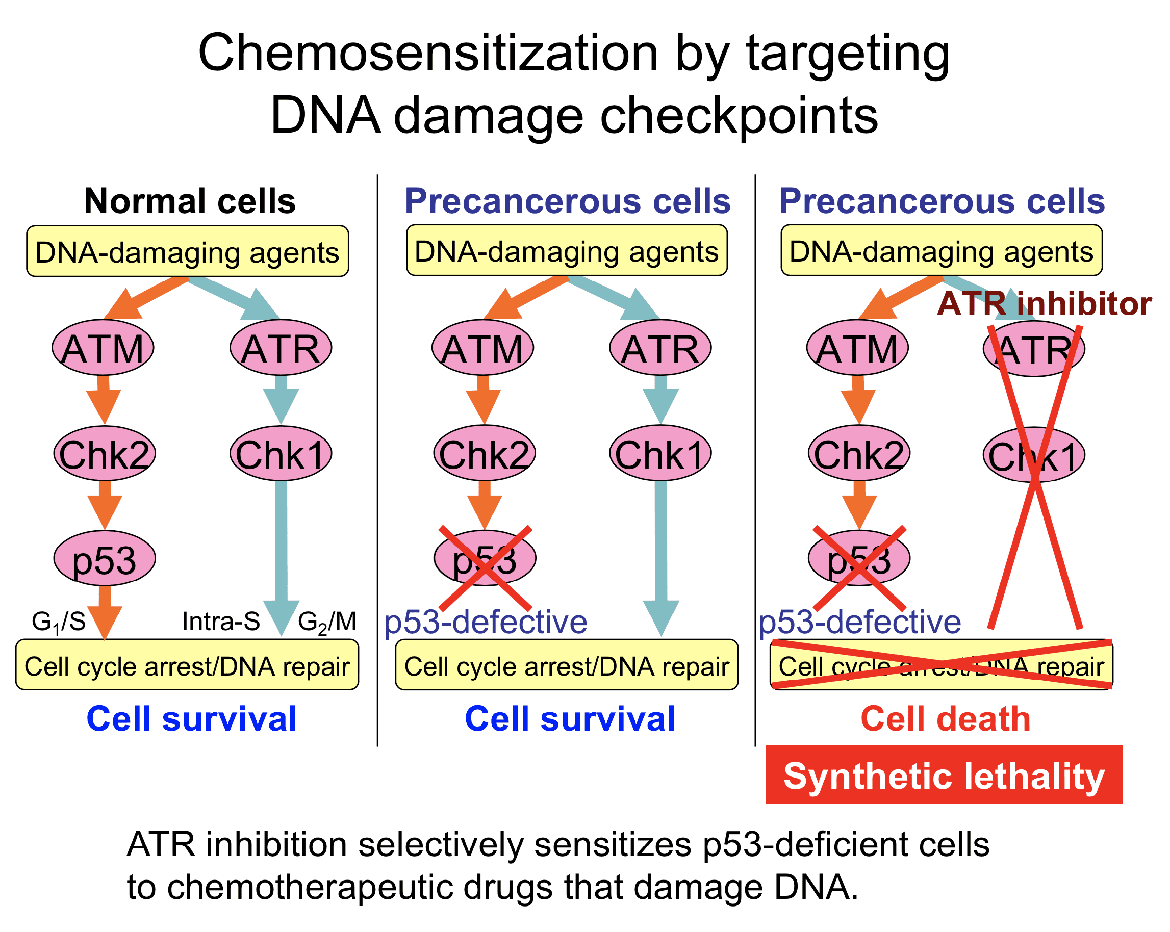KawasumiLab-Research-02-ATRInhibitors-01-ChemosensitizationByATRInhibition