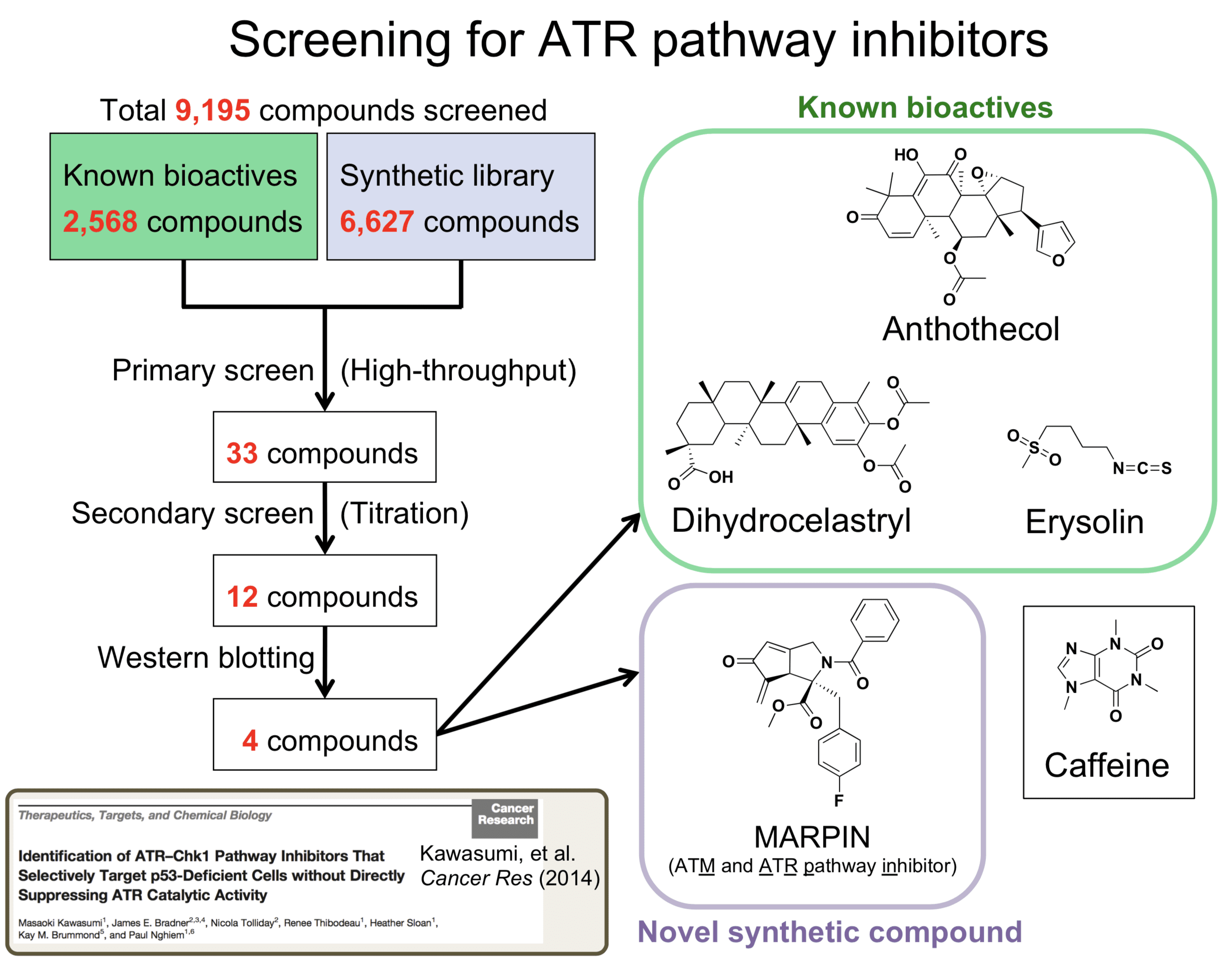 KawasumiLab-Research-02-ATRInhibitors-02-ScreeningForATRPathwayInhibitors